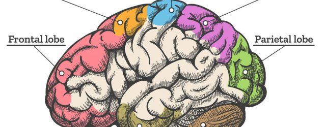 Diagram Of Brain Human Brain Anatomy Diagram