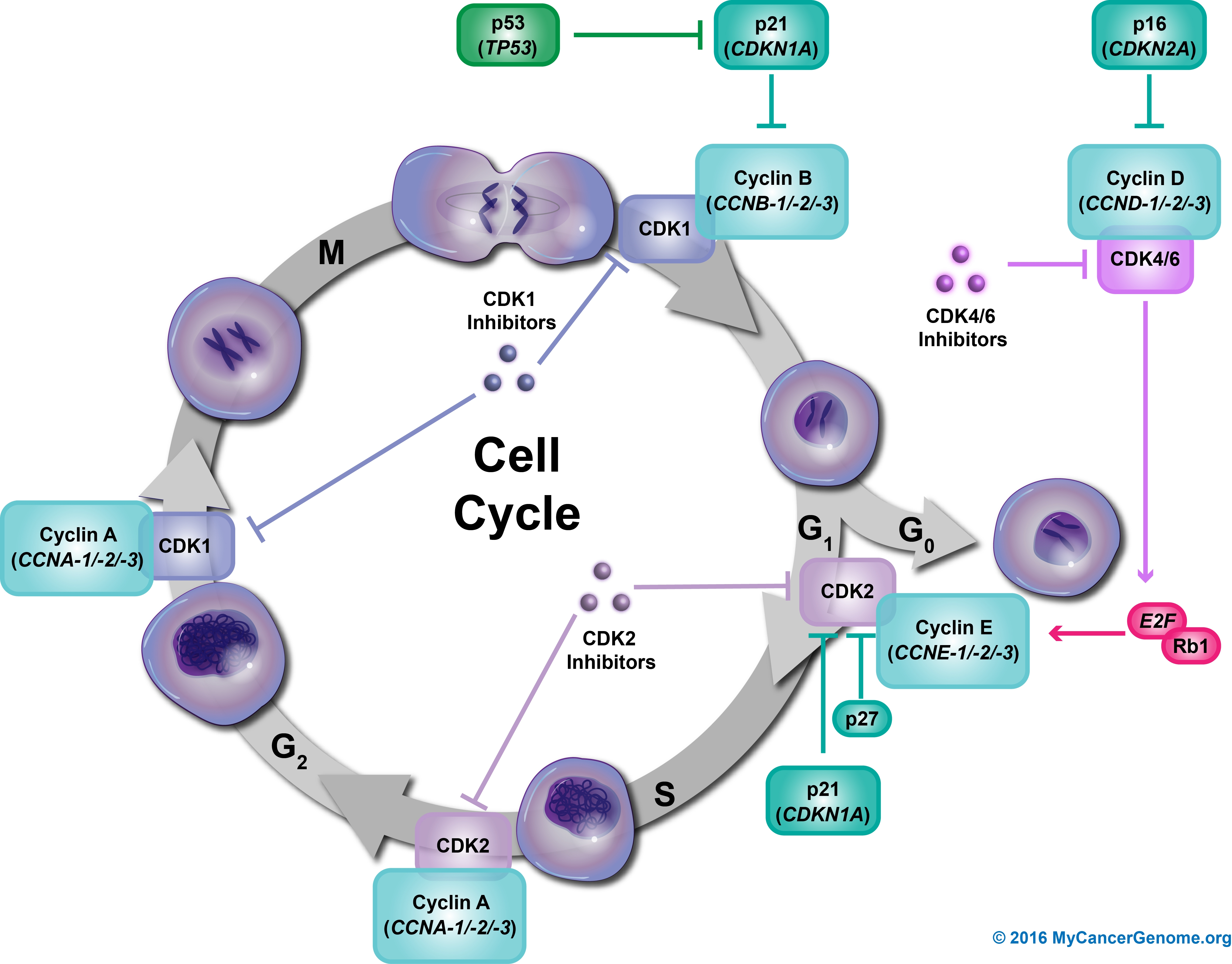 Diagram Of Cell Cycle Cell Cycle Control My Cancer Genome