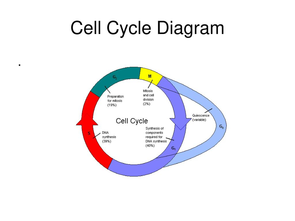 Diagram Of Cell Cycle Cell Cycle Diagram Ppt Download