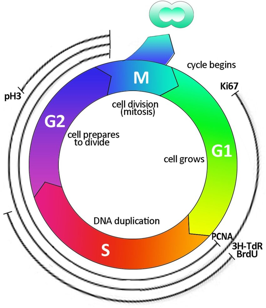 Diagram Of Cell Cycle Cell Cycle Labelling Schematic Representation Of The Cell Cycle And