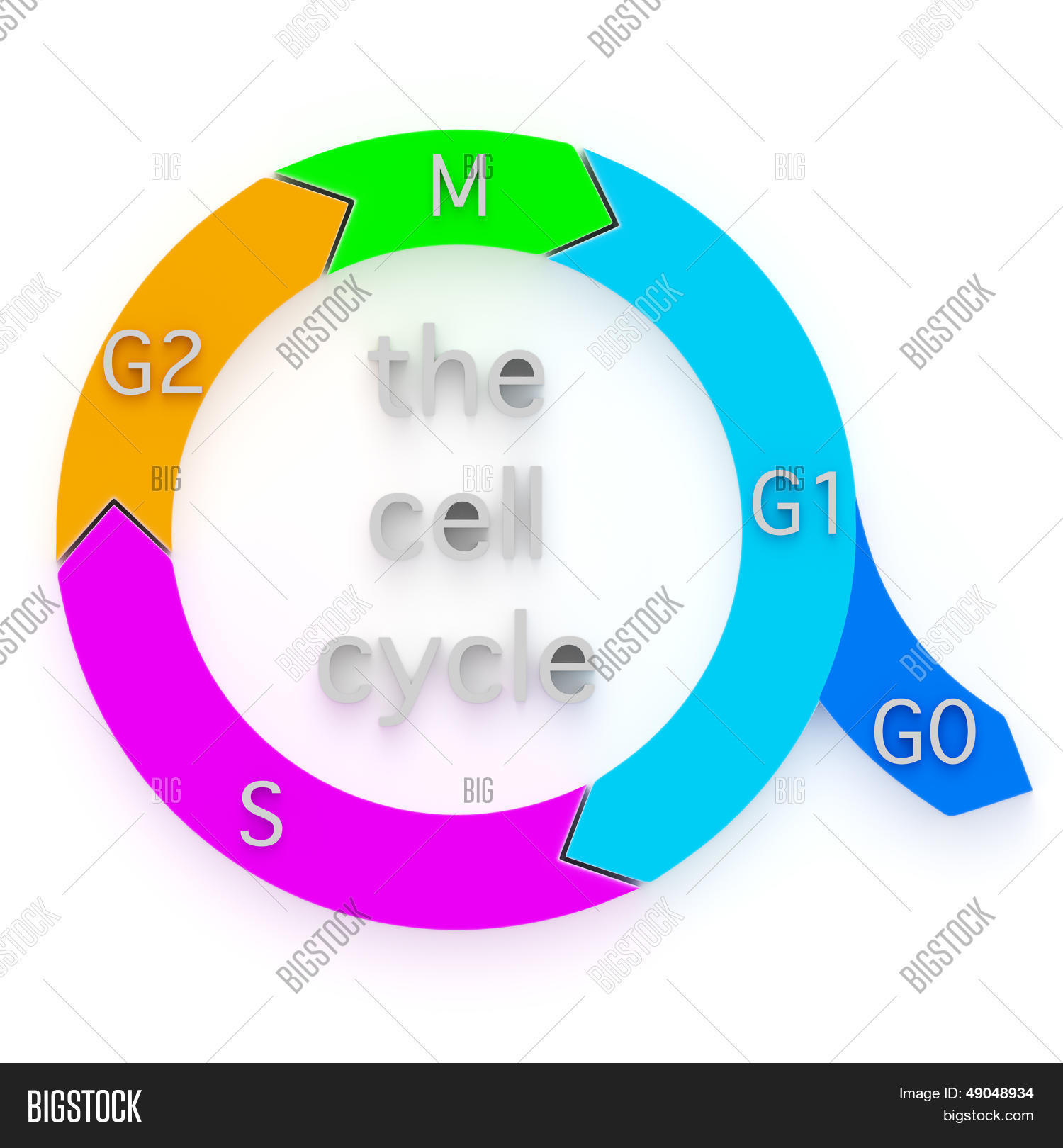 Diagram Of Cell Cycle Diagram Cell Cycle Image Photo Free Trial Bigstock