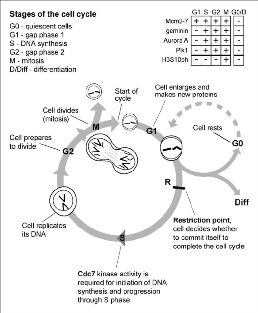 Diagram Of Cell Cycle Diagrammatic Representation Of The Mitotic Cell Division Cycle