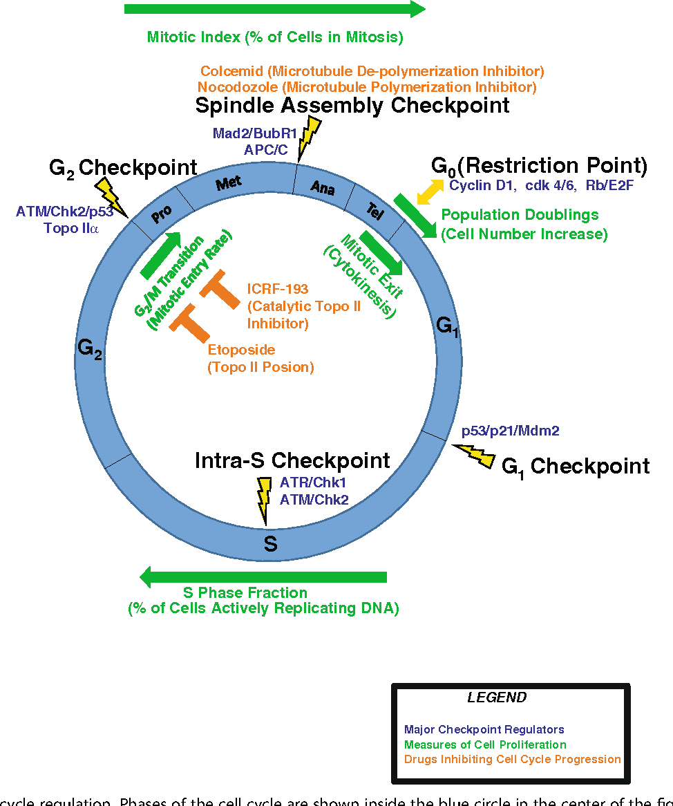 Diagram Of Cell Cycle Figure 1 From Patterns Of Cell Cycle Checkpoint Deregulation