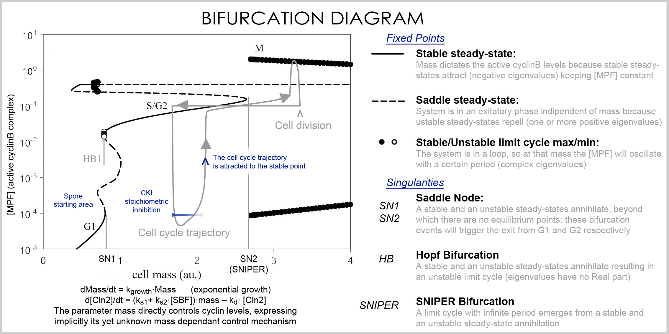 Diagram Of Cell Cycle Filecell Cycle Bifurcation Diagram Wikimedia Commons