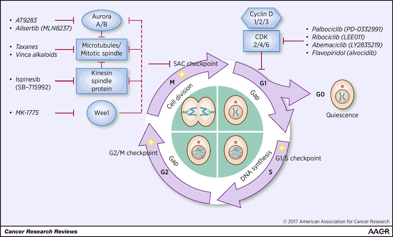 Diagram Of Cell Cycle Recent Advances Of Cell Cycle Inhibitor Therapies For Pediatric