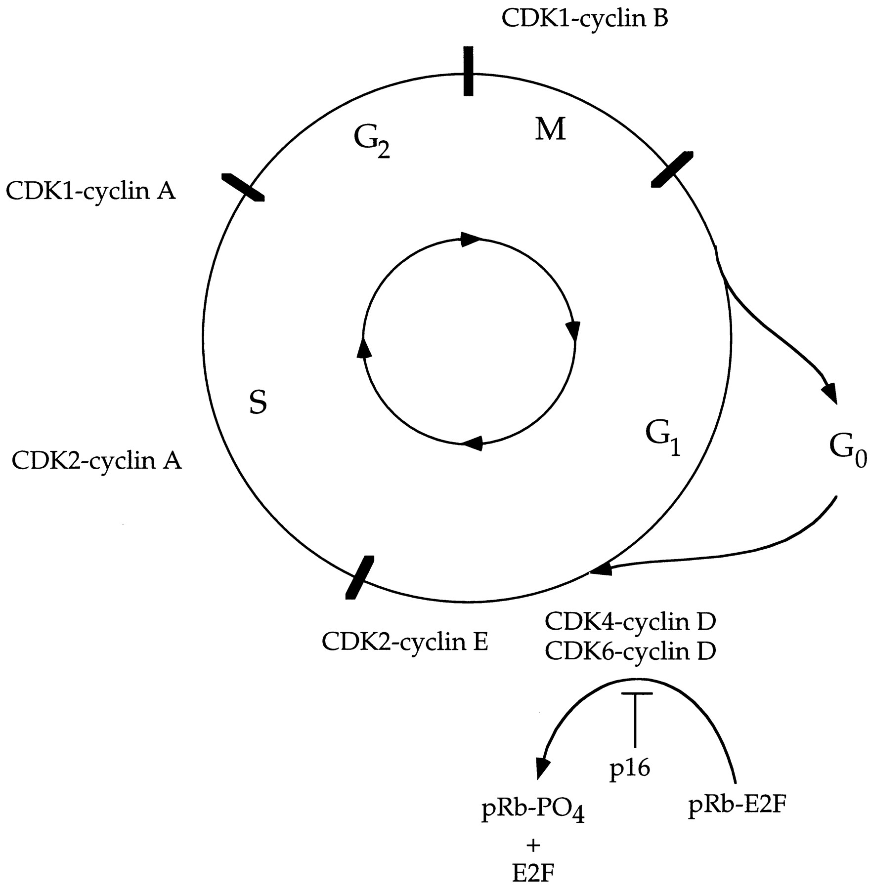 Diagram Of Cell Cycle The Cell Cycle And Cancer Pnas