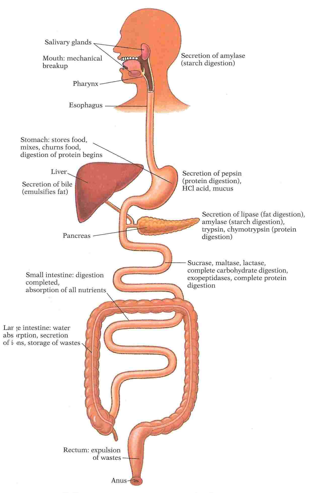 Diagram Of Digestive System Diagram Of Digestive System Of Man Diagram Of Anatomy