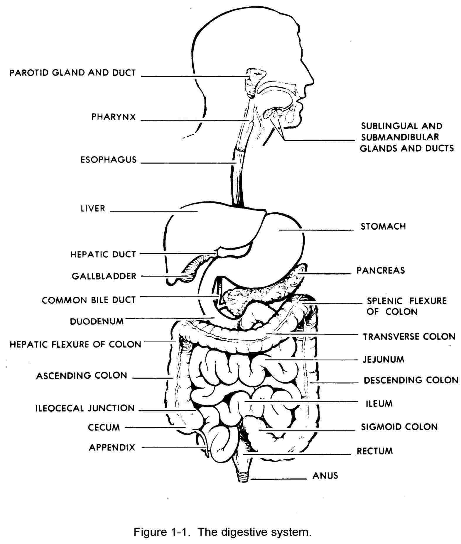 Diagram Of Digestive System Digestion Diagram Simple Wiring Diagram All