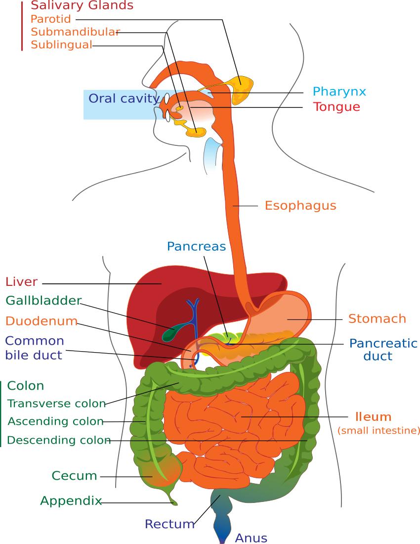 Diagram Of Digestive System Digestive System Diagram Page Medicalanatomydigestive