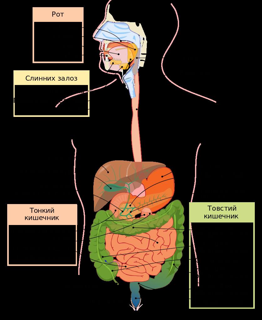 Diagram Of Digestive System Digestive System Diagram Uksvg