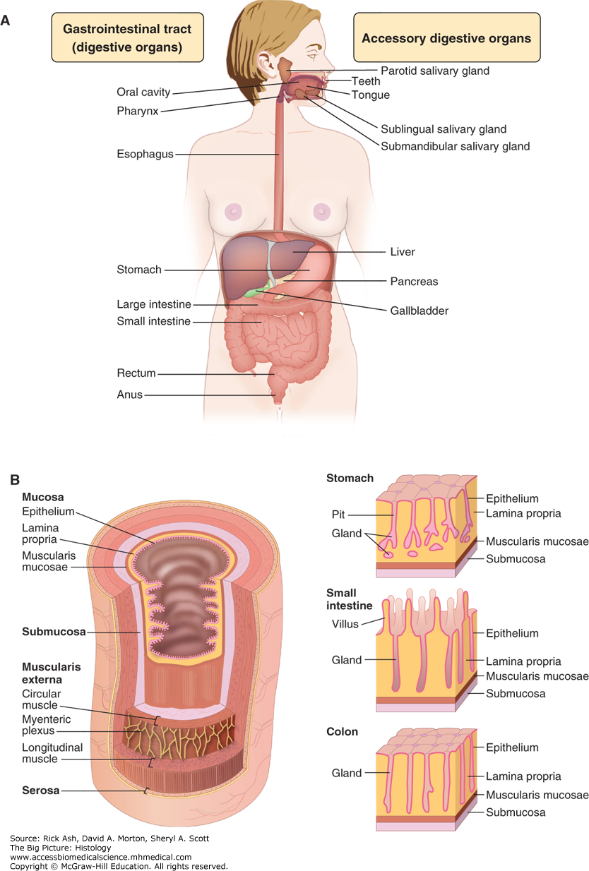 Diagram Of Digestive System Digestive System The Big Picture Histology Accessphysiotherapy
