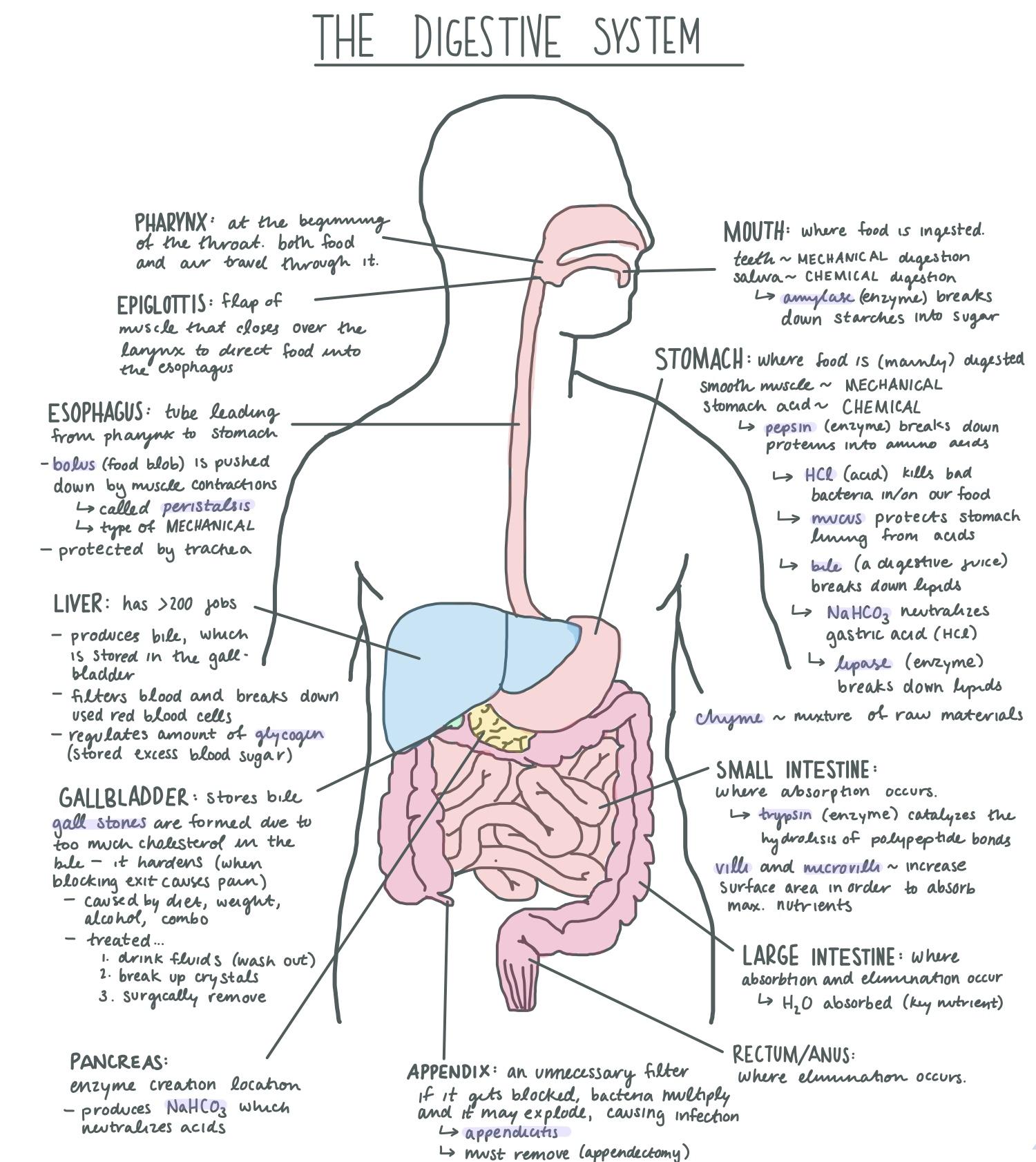 Diagram Of Digestive System Filedigestive System Diagram Wikimedia Commons