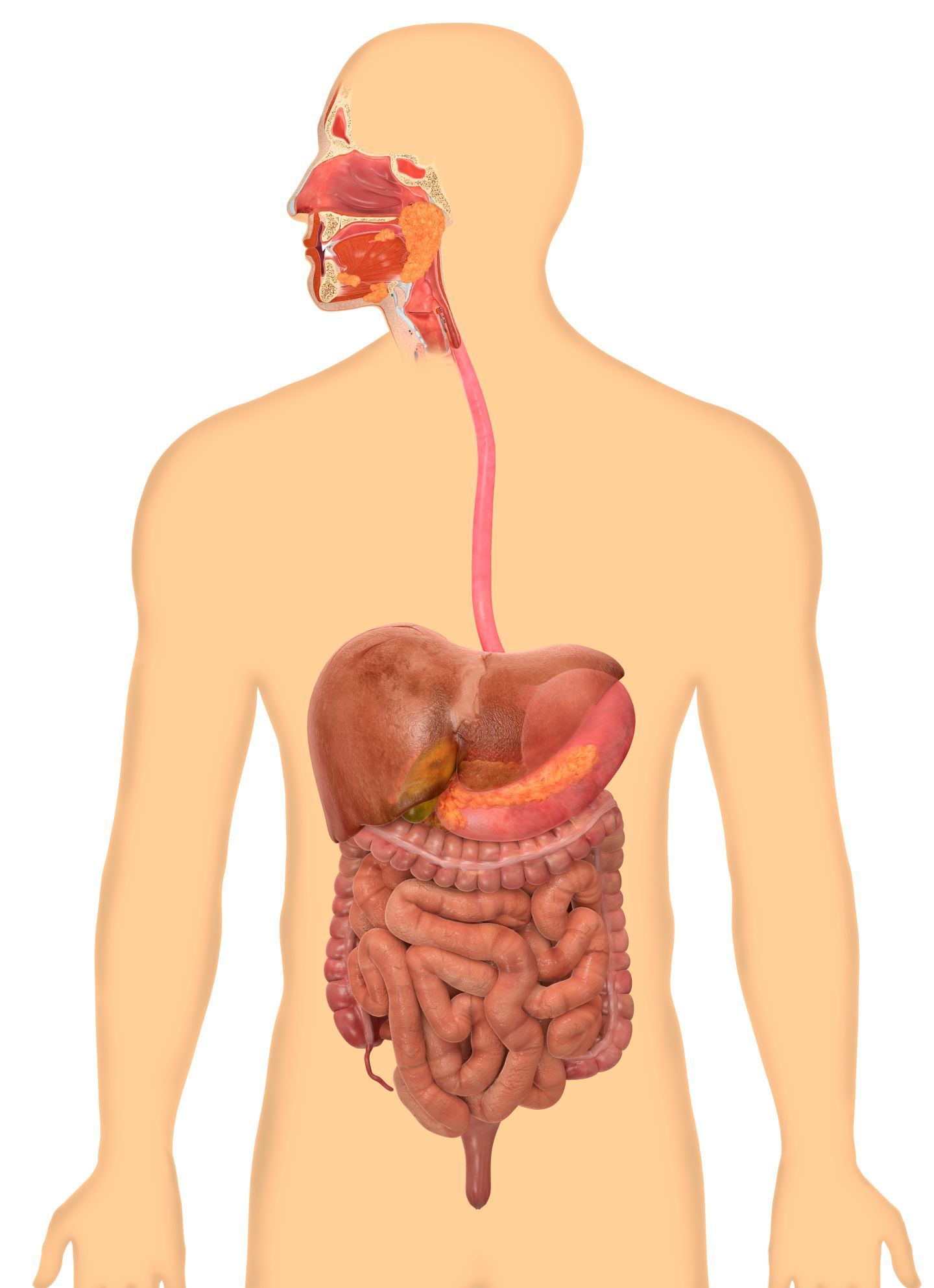 Diagram Of Digestive System How Does The Digestive System Work For Kids Dk Find Out