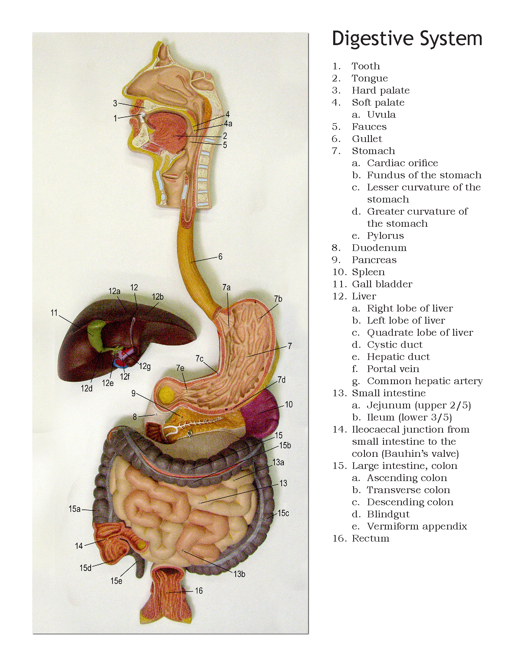 Diagram Of Digestive System Human Digestive System Diagram Anatomical Models Ball State