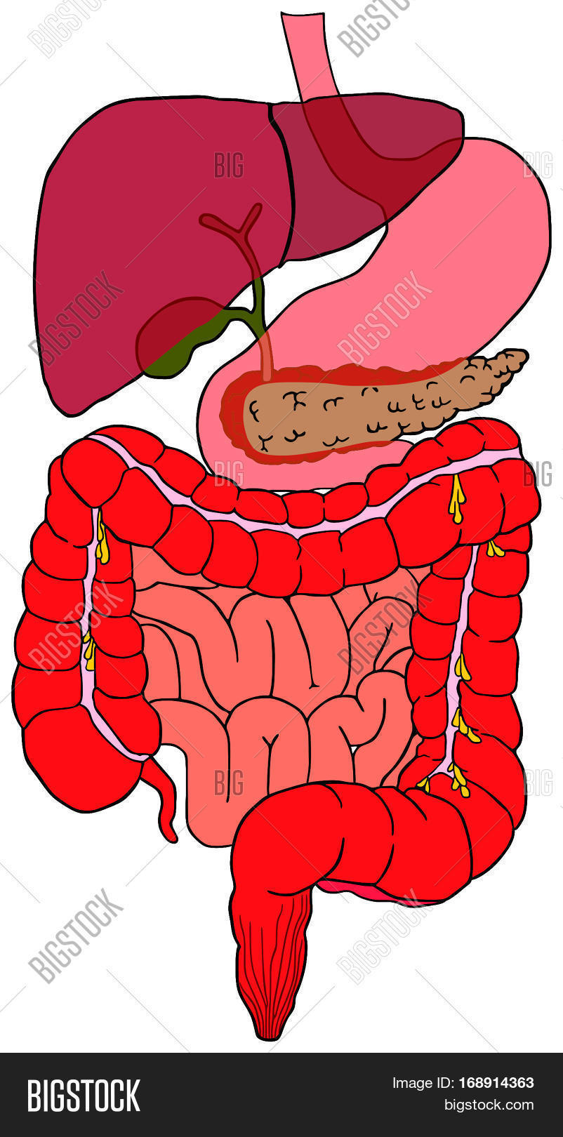 Diagram Of Digestive System Human Digestive System Image Photo Free Trial Bigstock