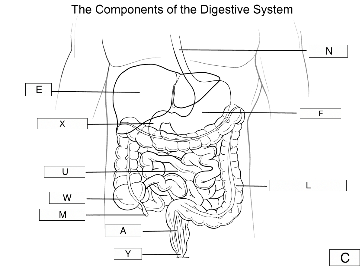Diagram Of Digestive System The Digestive System Lesson 0389 Tqa Explorer