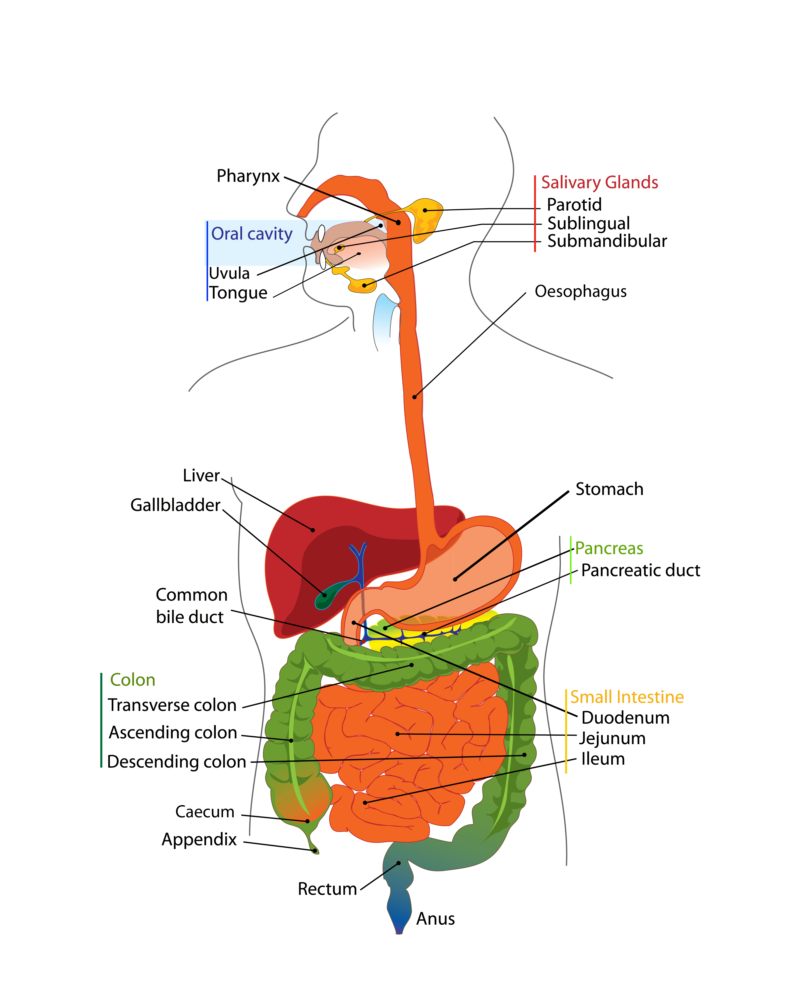 Diagram Of Digestive System The Human Digestive Tract Bugs In Your Guts