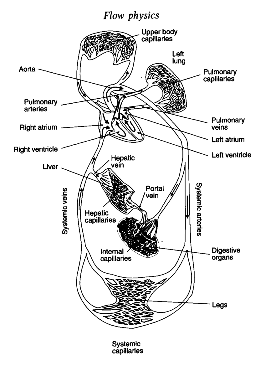 Diagram Of Human Body 1 A Schematic Diagram Of The Blood Circulation System In The Human