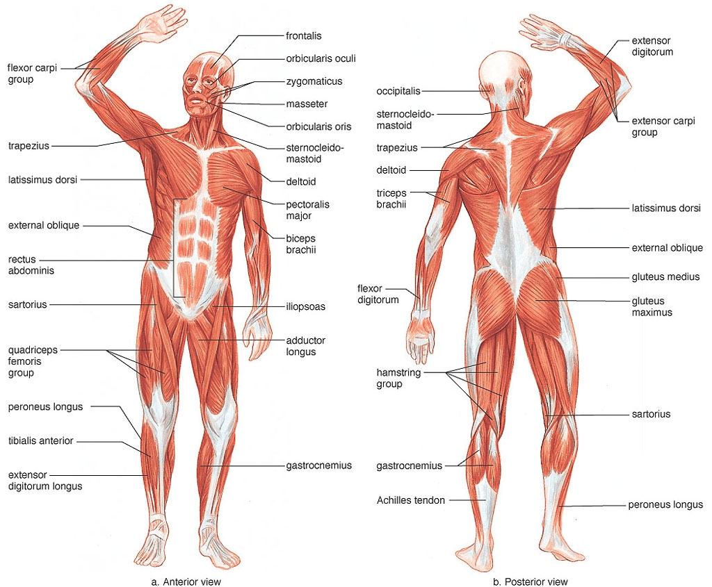Diagram Of Human Body Blank Drawing Of Human Body At Getdrawings Free For Personal
