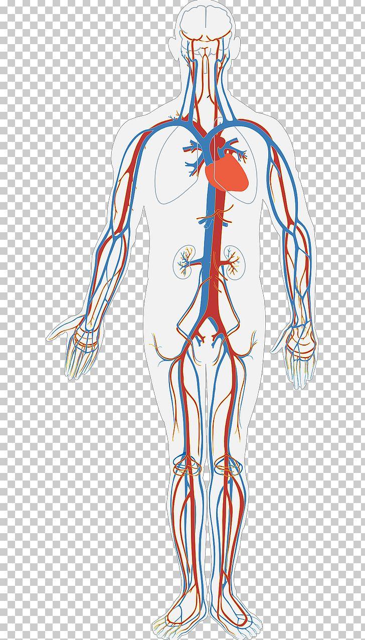 Diagram Of Human Body Circulatory System Diagram Human Body Anatomy Organ System Png