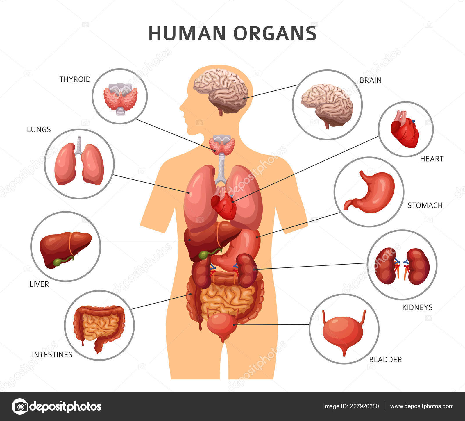 Diagram Of Human Body Diagram Of Body Liver Today Wiring Schematic Diagram