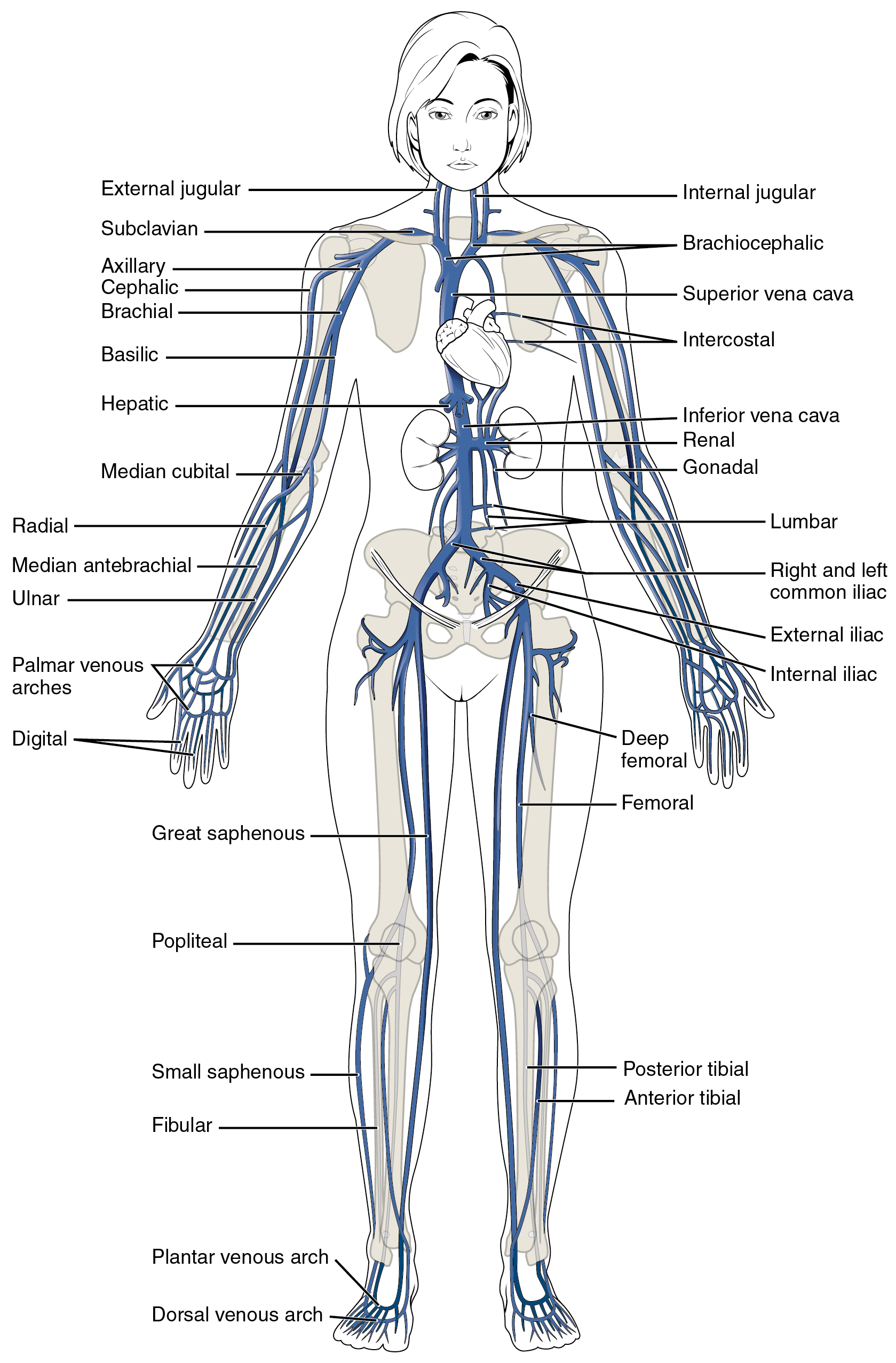 Diagram Of Human Body Diagram Of Body Veins Wiring Diagram Verified