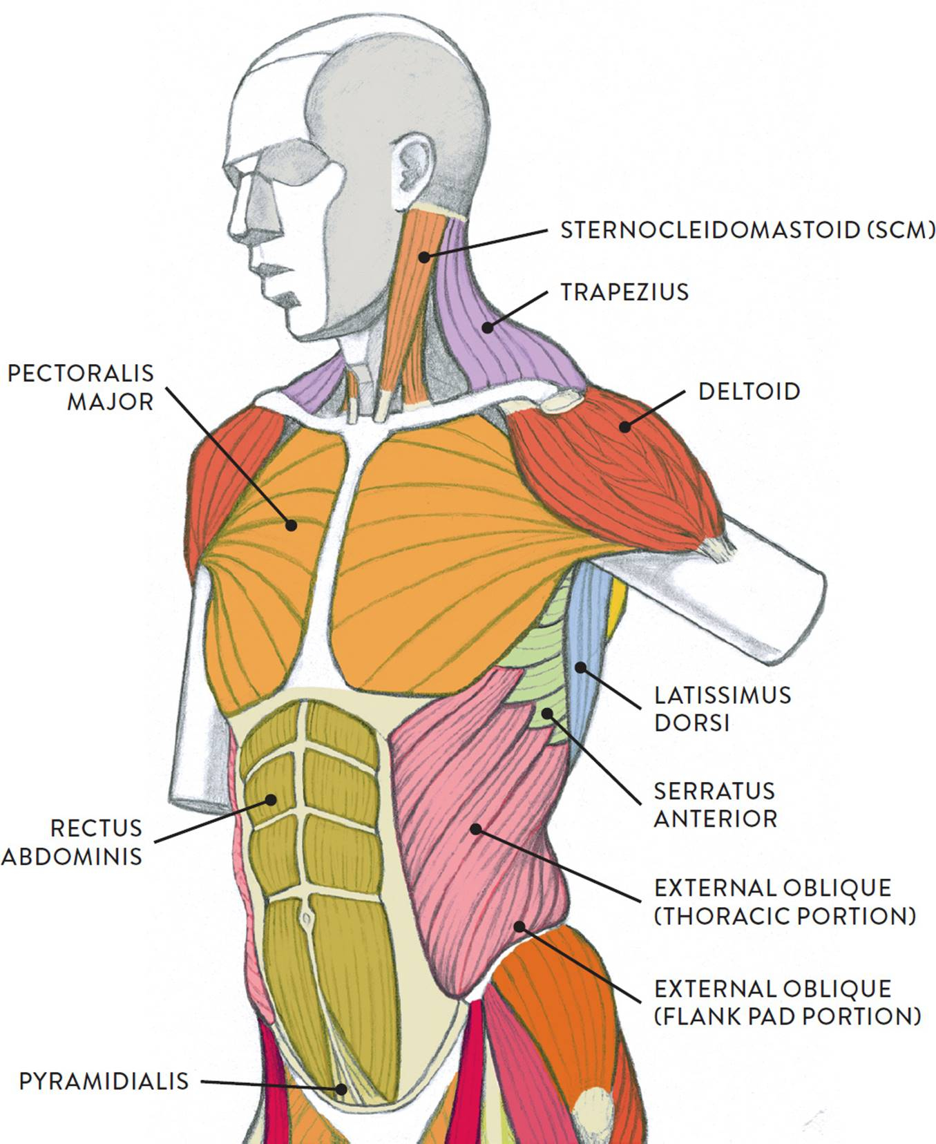 Diagram Of Human Body Diagram Of Flank Wiring Diagram Srconds