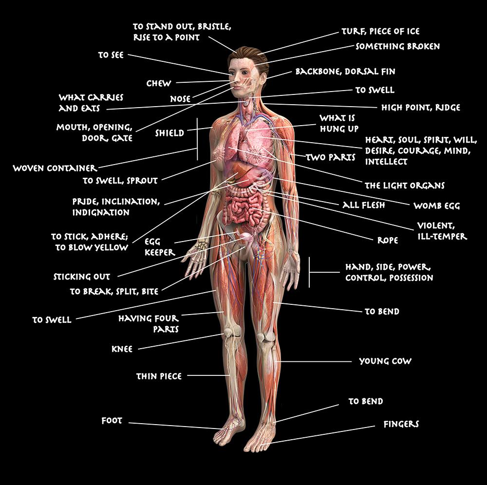 Diagram Of Human Body Diagram Of The Human Body Using Etymologies