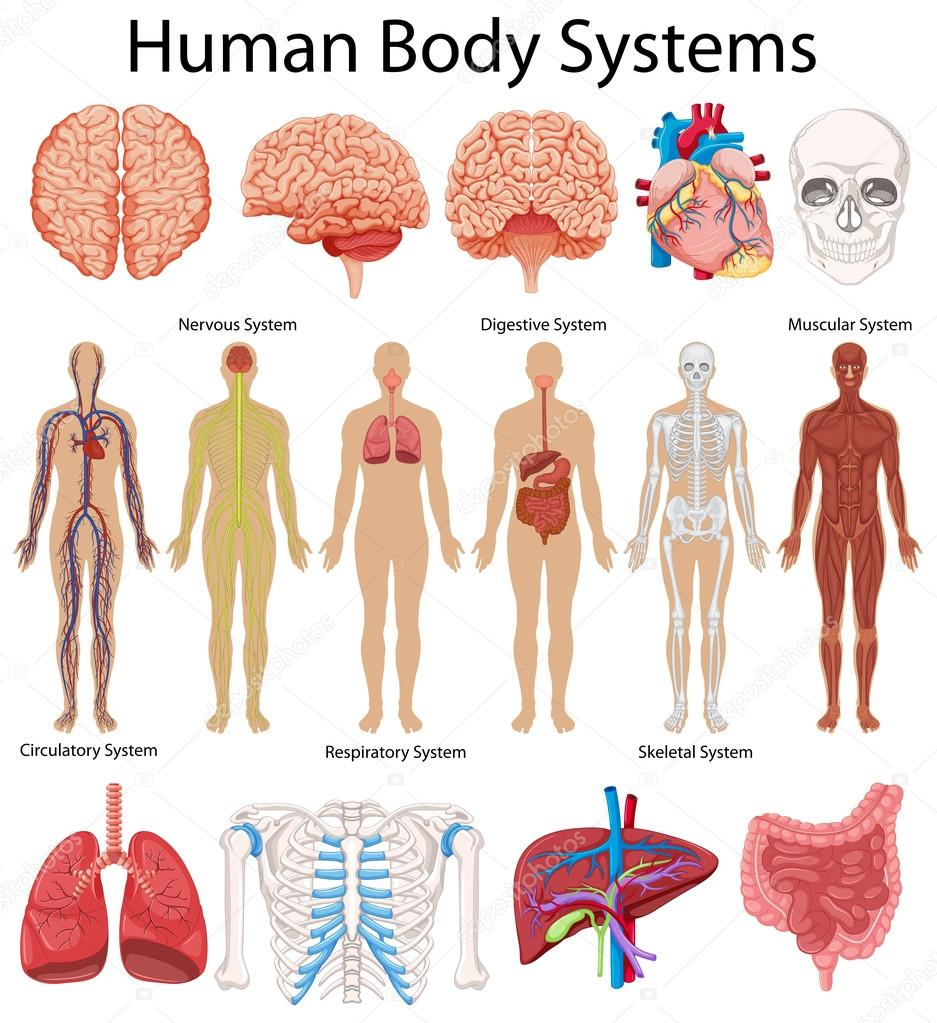 Diagram Of Human Body Diagram Showing Human Body Systems Stock Vector Interactimages