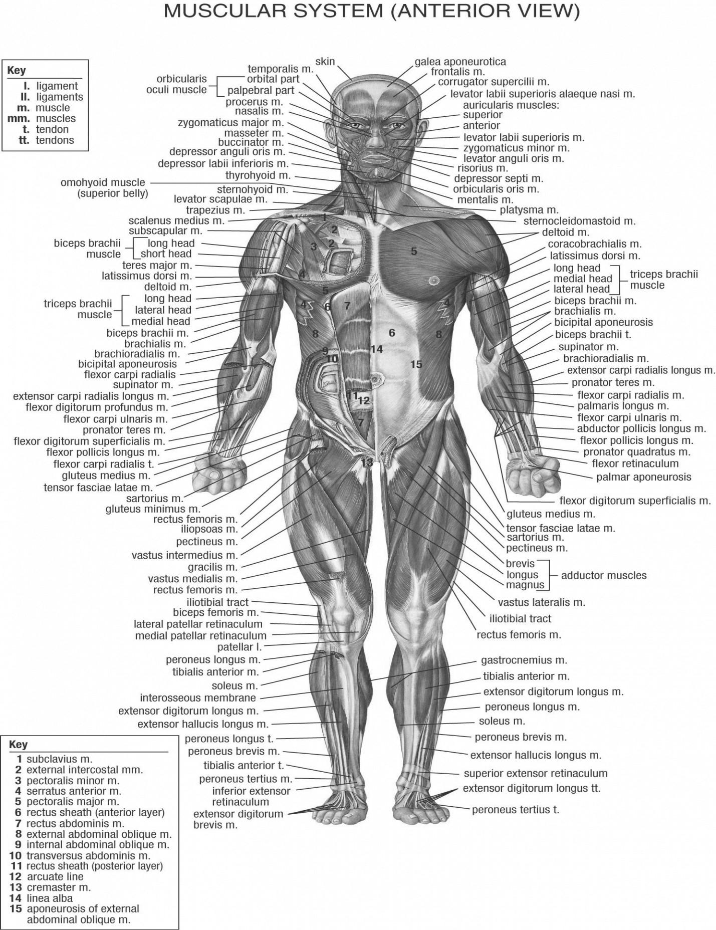 Diagram Of Human Body Human Body Chart Steven Hill