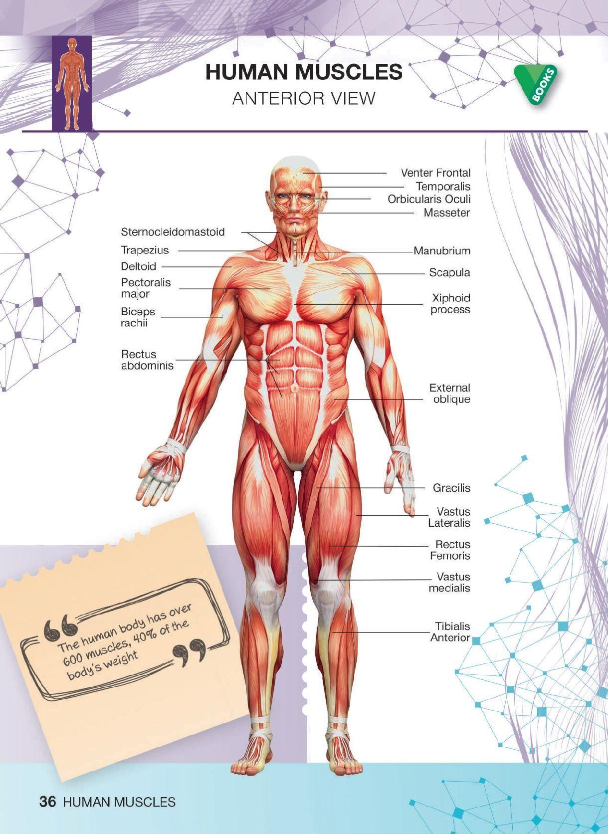 Diagram Of Human Body Human Body Diagram 95 Human Body Diagram Wiring Diagrams Show