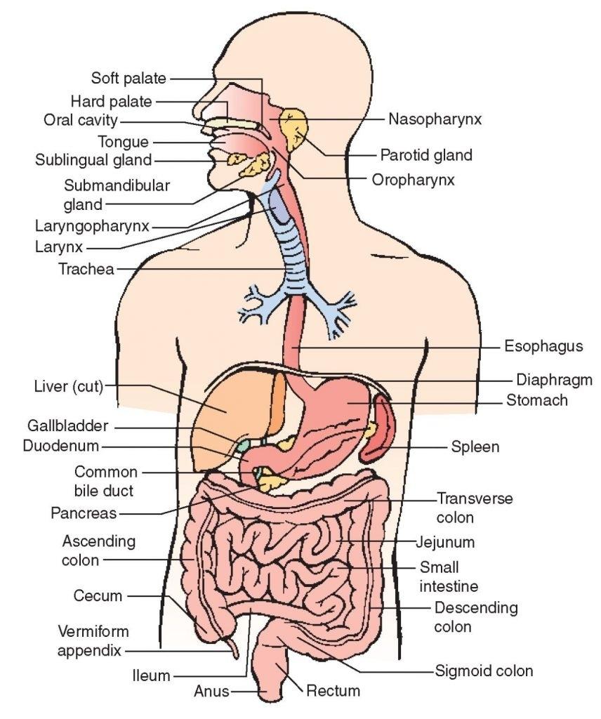 Diagram Of Human Body Human Body Diagram