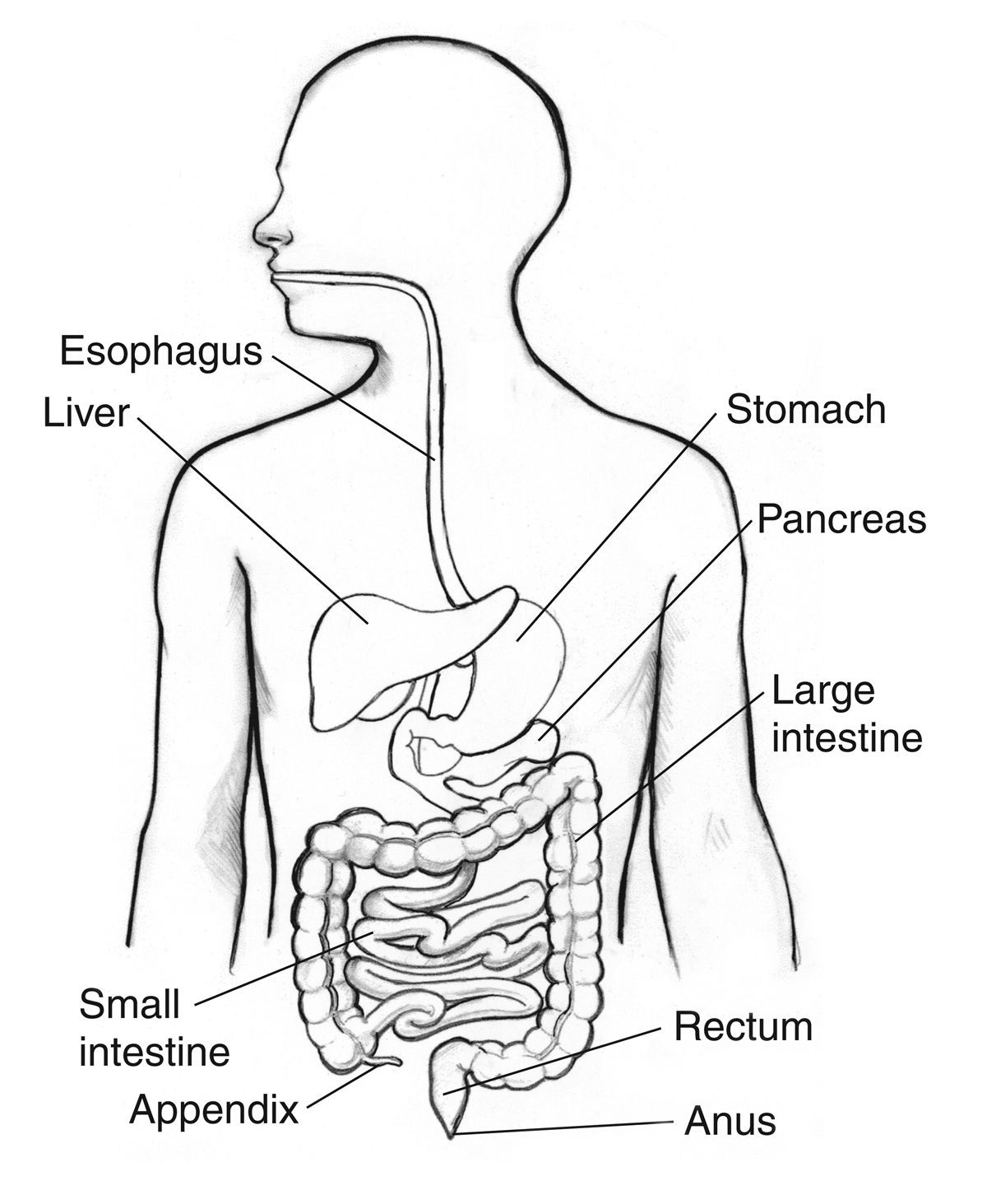 Diagram Of Human Body Human Body Systems Coloring S Lovely Digestive System Sheet Diagram