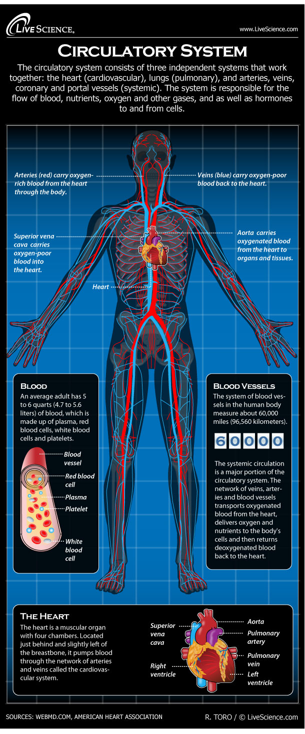 Diagram Of Human Body Human Circulatory System Diagram How It Works Live Science