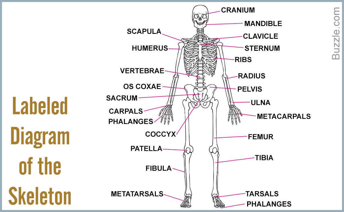 Diagram Of Human Body Human Skeleton Label Diagram Wiring Diagram Library