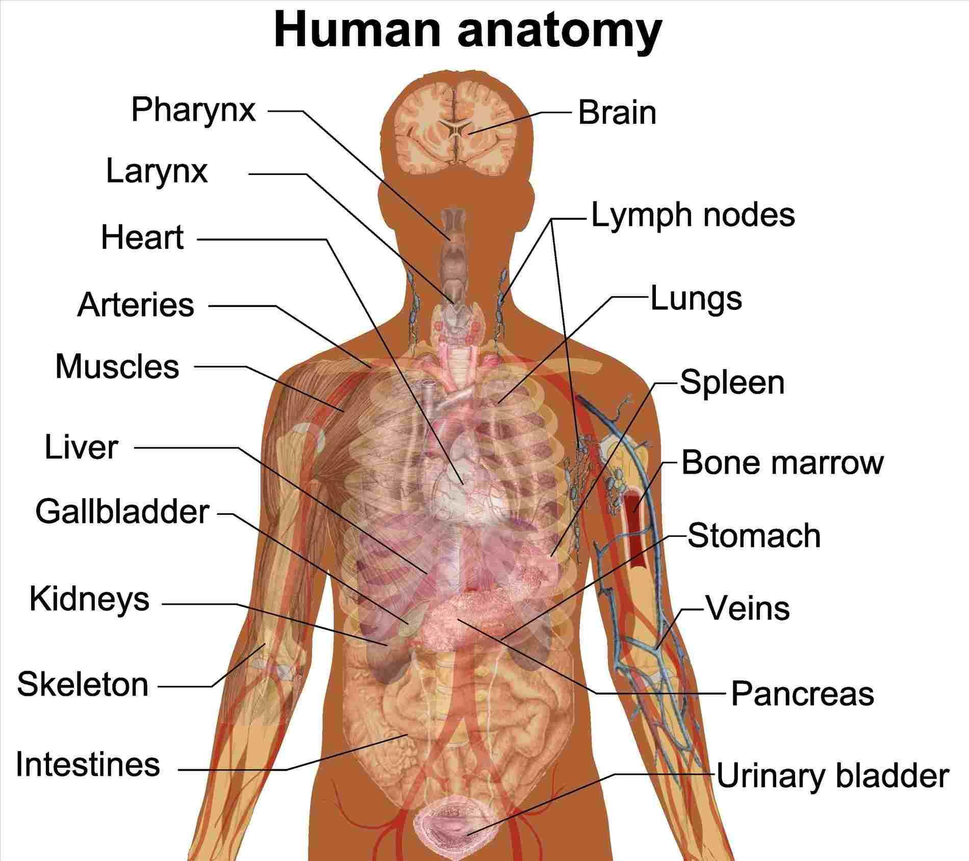 Diagram Of Human Body Kidneys Diagram Human Body Diagram Of Anatomy