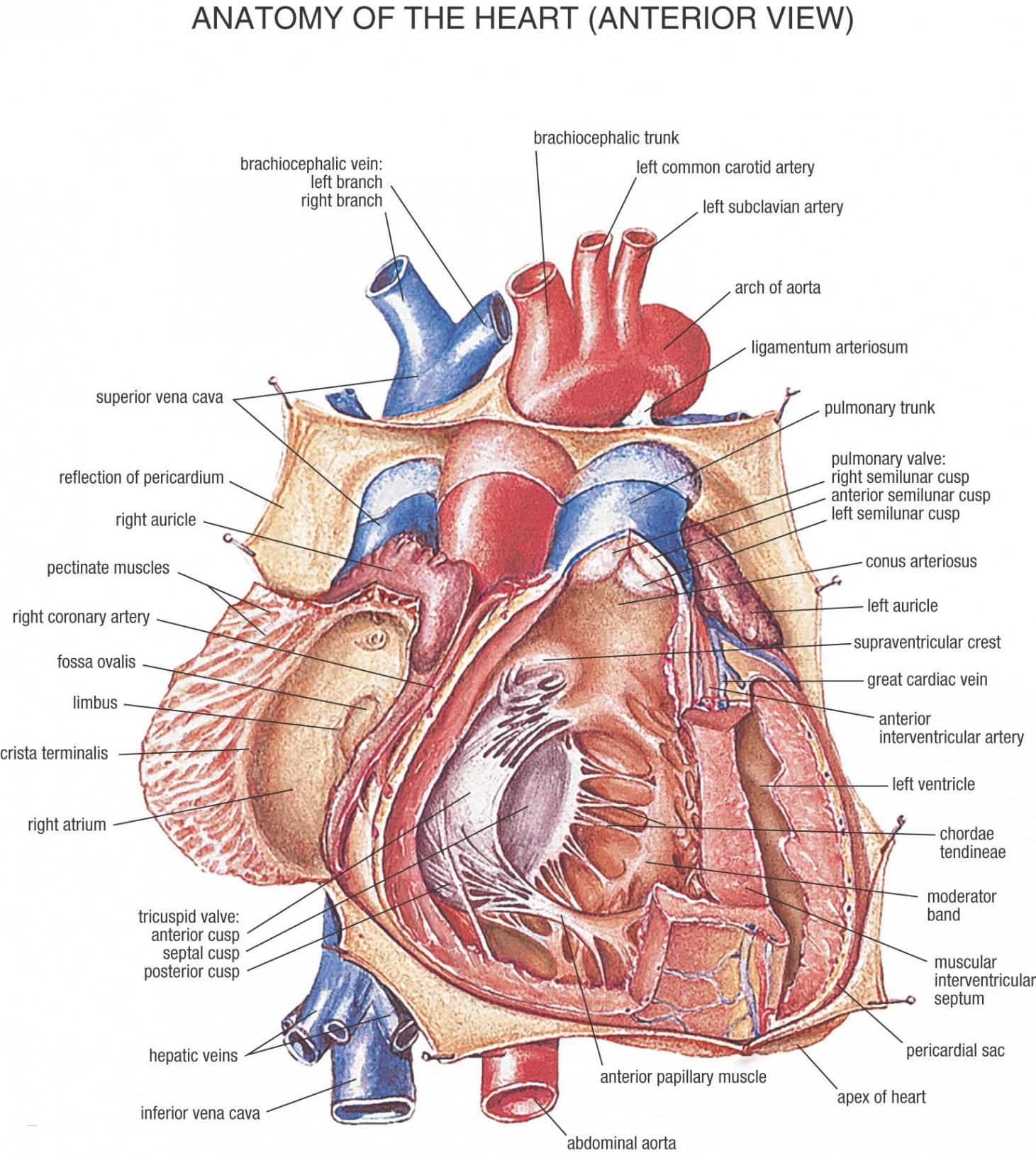 Diagram Of Human Body Organs 36 Diagram Human Body Organs Labeled Learn Schematic Diagram