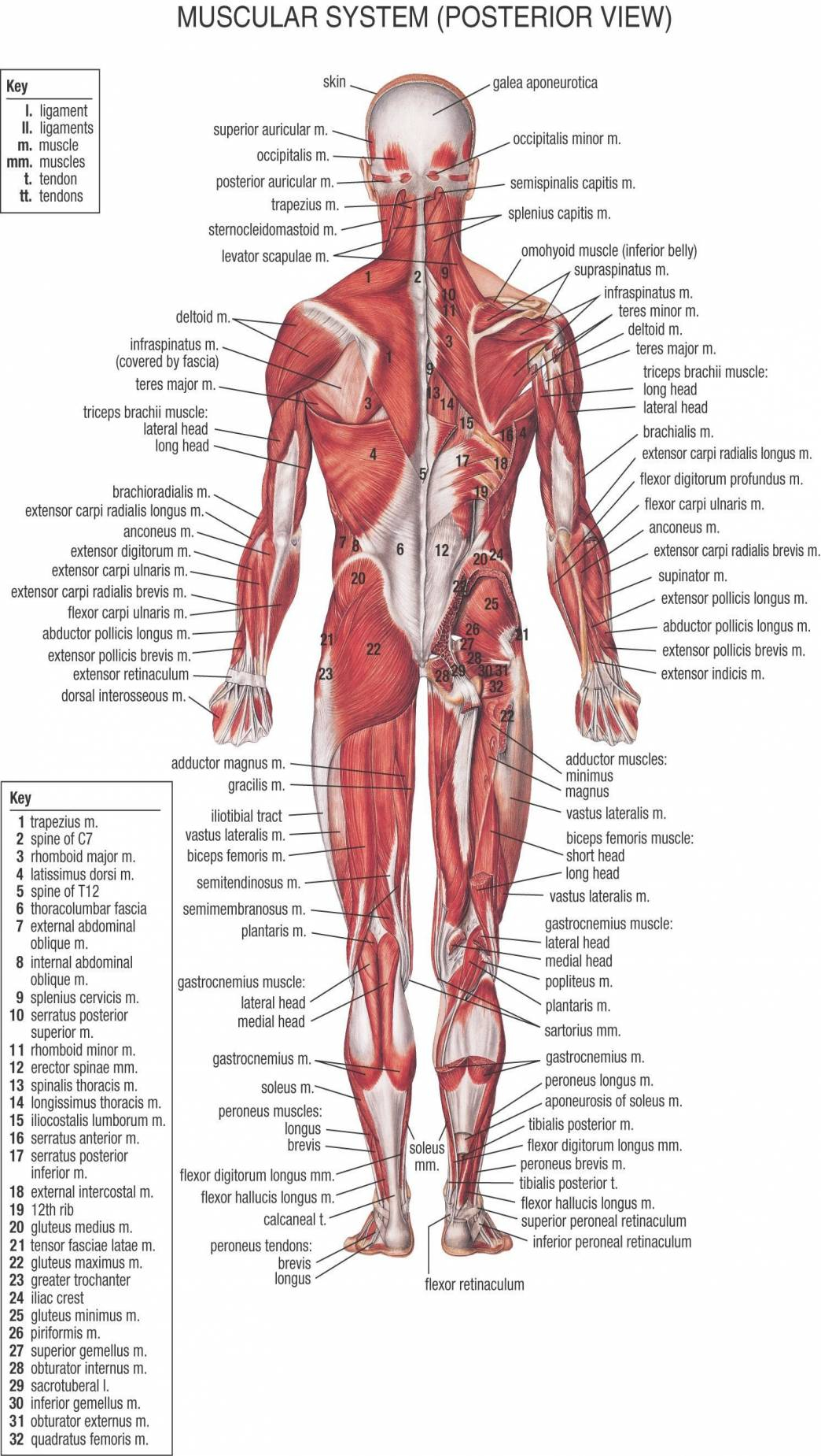 Diagram Of Human Body Organs Body Diagram Organs Back Wiring Diagram Review
