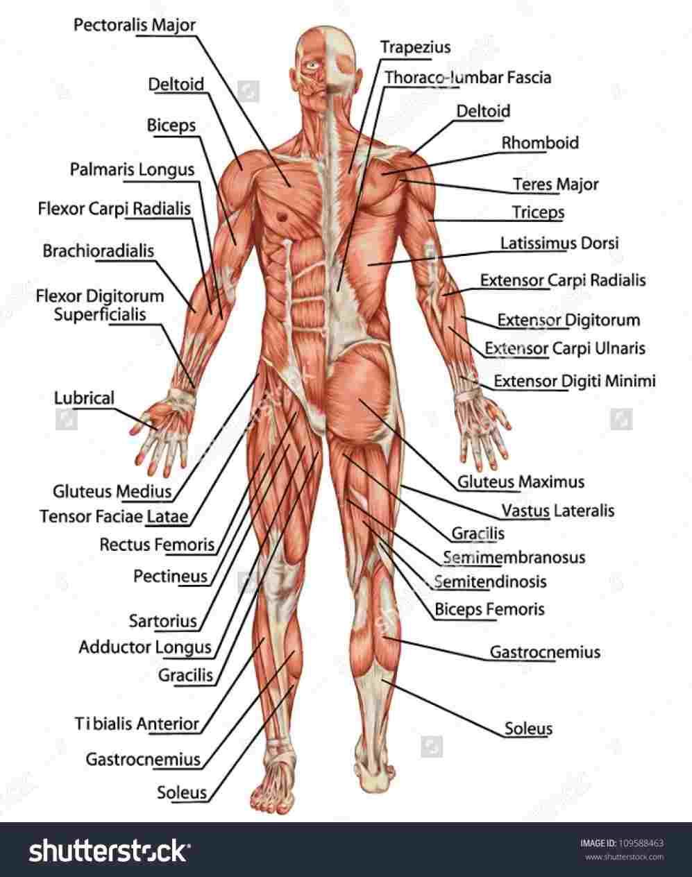Diagram Of Human Body Organs Chart Upper Body Anatomy Diagram Of Upper Body Organs Human