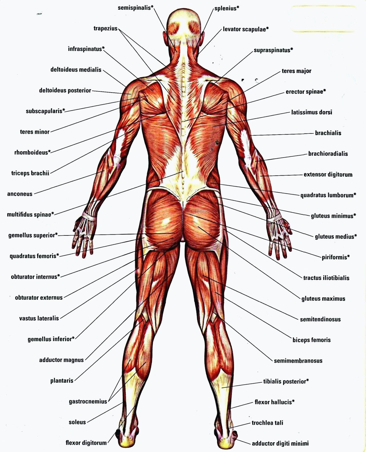 Diagram Of Human Body Organs Diagram Human Skull Worksheets For Anatomy For Anatomy Of Body