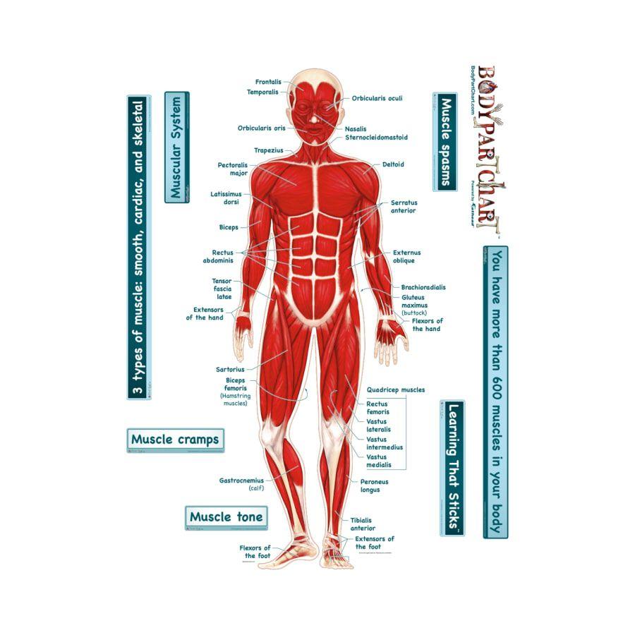 Diagram Of Human Body Organs Diagram Of Muscles In Leg Elegant Muscle System Diagram Human