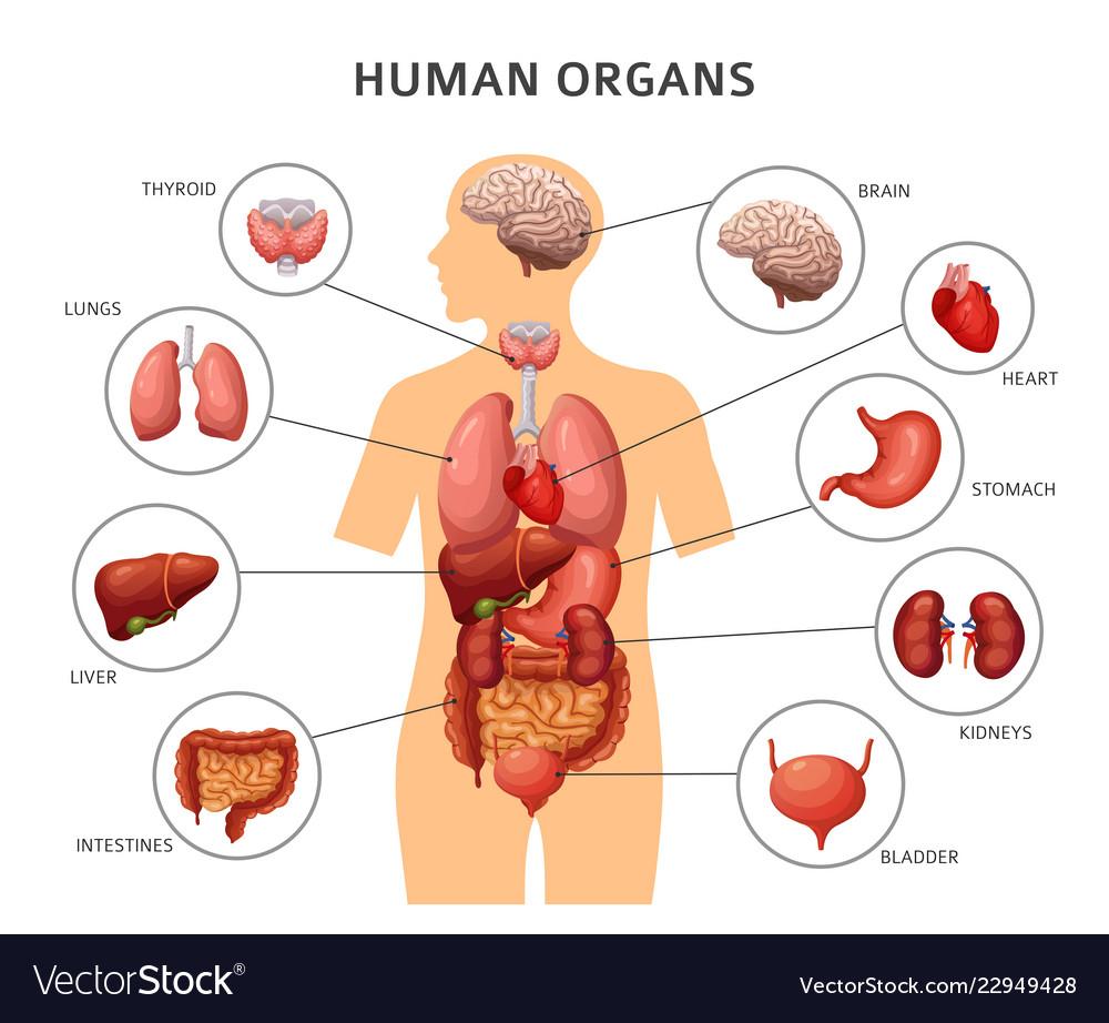 Diagram Of Human Body Organs Diagram Of The Bodys Internal Organs Wiring Diagram Web