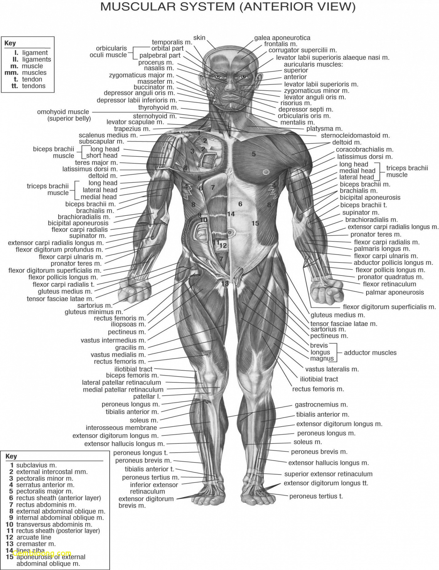 Diagram Of Human Body Organs Human Body Organs Picture Anatomy Human Body Notes Steven Hill