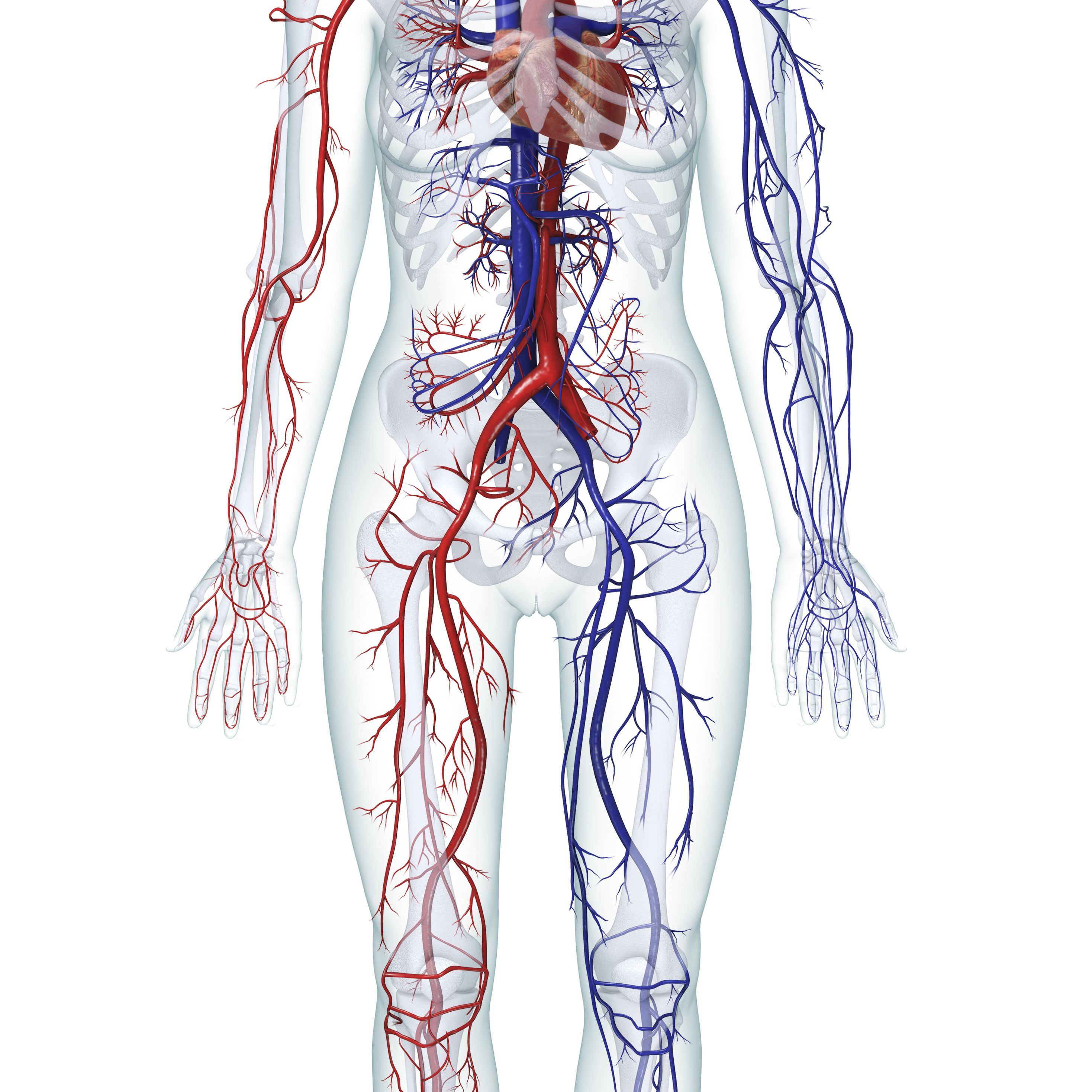 Diagram Of Human Body Organs Learn About The Organ Systems In The Human Body