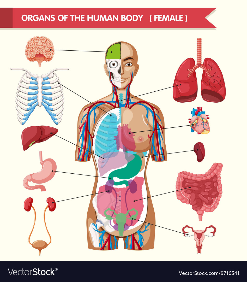 Diagram Of Human Body Organs Organs Of The Human Body Diagram
