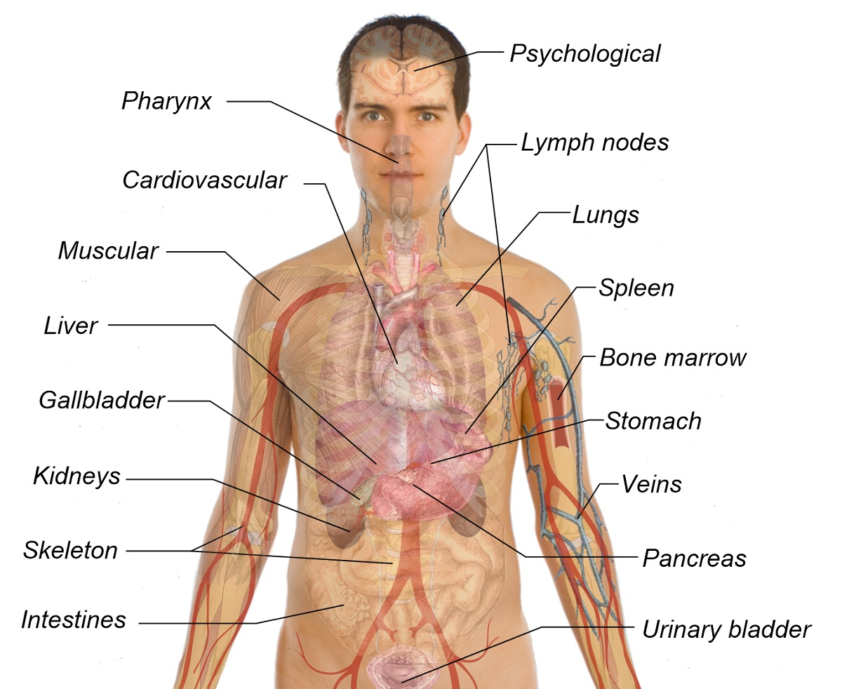 Diagram Of Human Body Organs Printable Diagram Of The Human Body Printable Diagram
