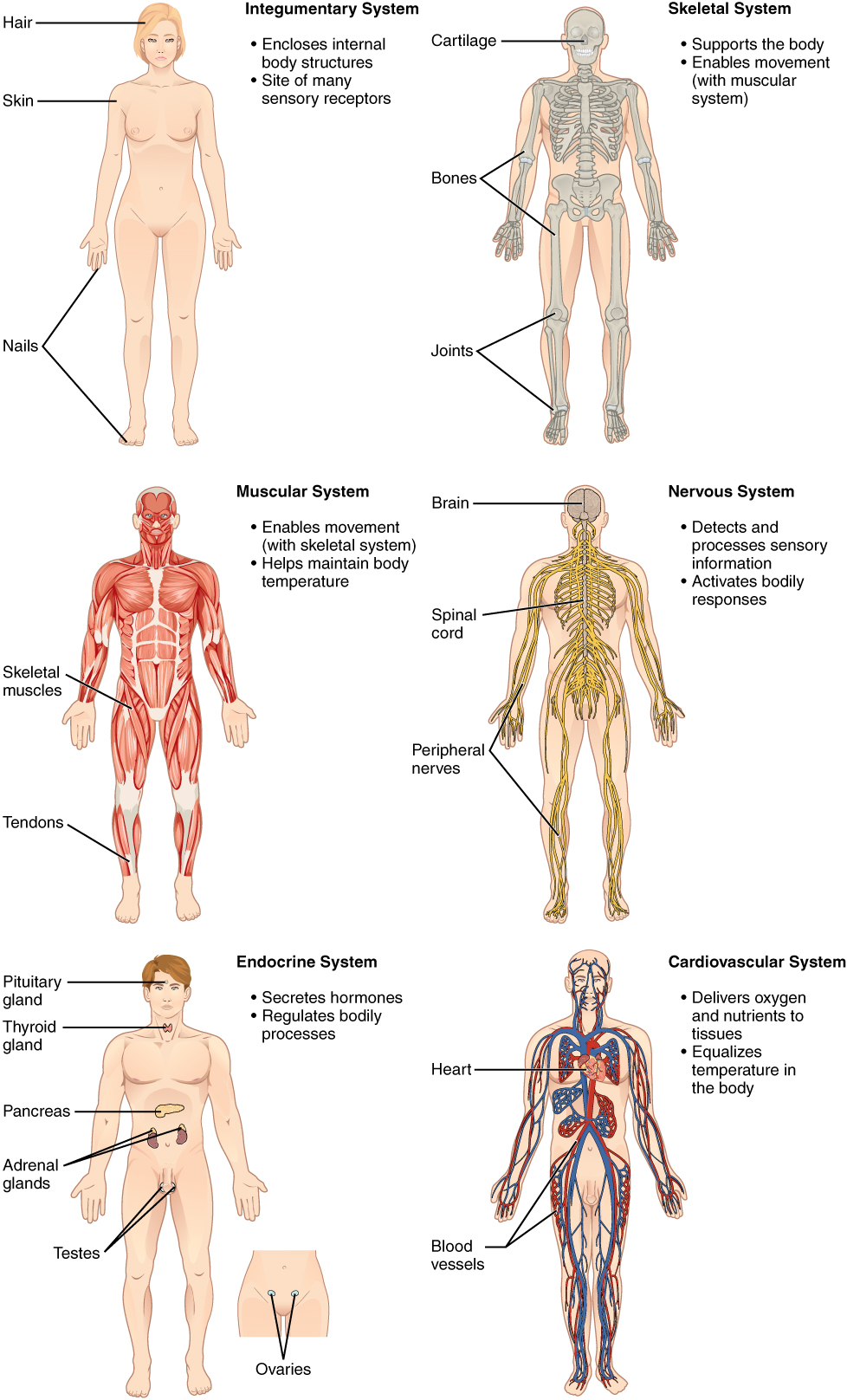 Diagram Of Human Body Organs The Human Organ Systems Human Anatomy And Physiology Lab Bsb 141