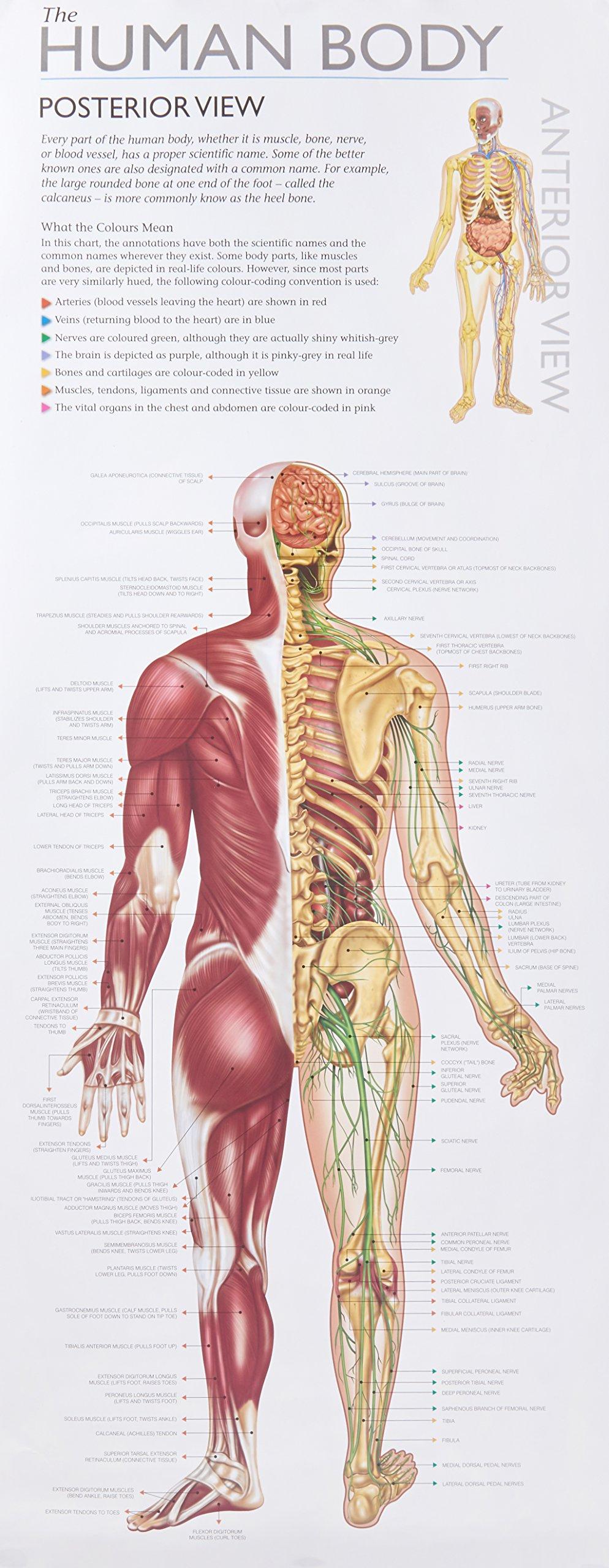 Diagram Of Human Body W0l Wall Chart Human Body