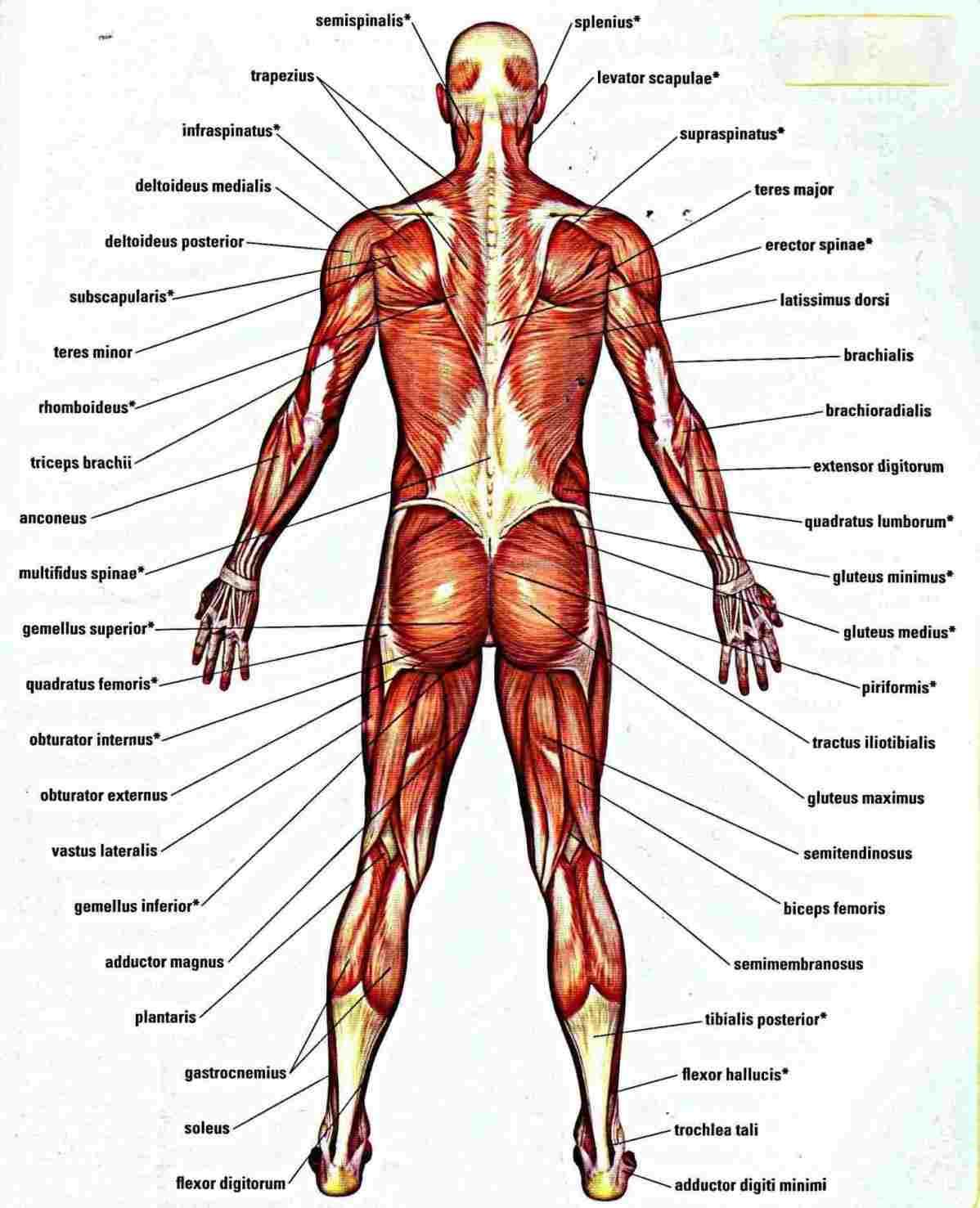 Diagram Of Human Body Woman Human Body Diagram Diagram Anatomy Body