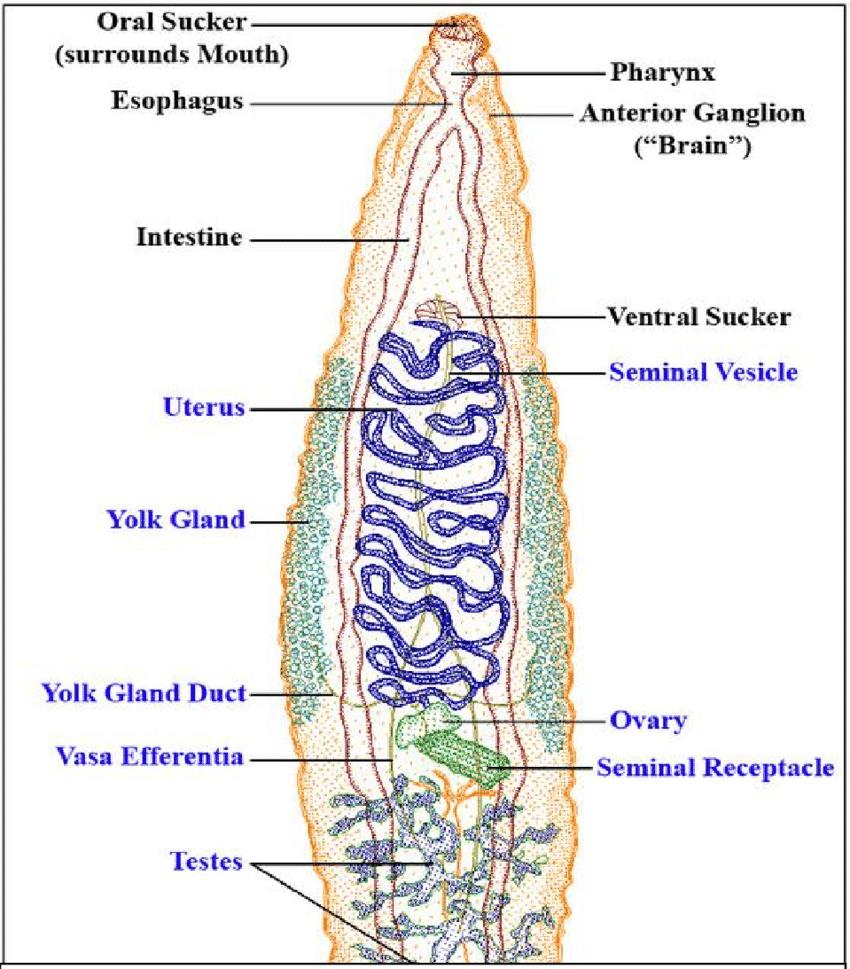 Diagram Of Internal Organs 1 Diagram Of Digenia Trematoda With Basic Internal Organs In